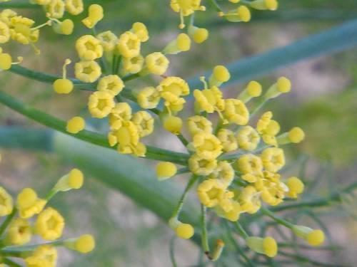 pianta commestibile · a fiori gialli · Foeniculum vulgare