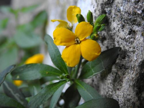 Fiori Gialli 8 Petali.Piante A Fiori Gialli