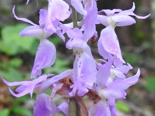 Orchis